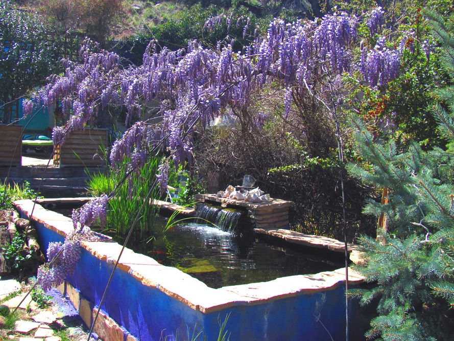 blooming wisteria over koi pond