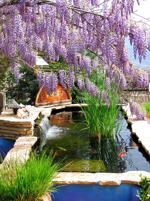 Wisteria over koi pond