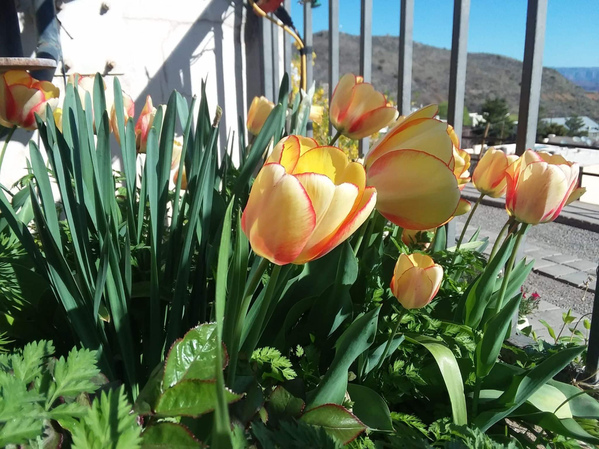 Yellow tulips 1