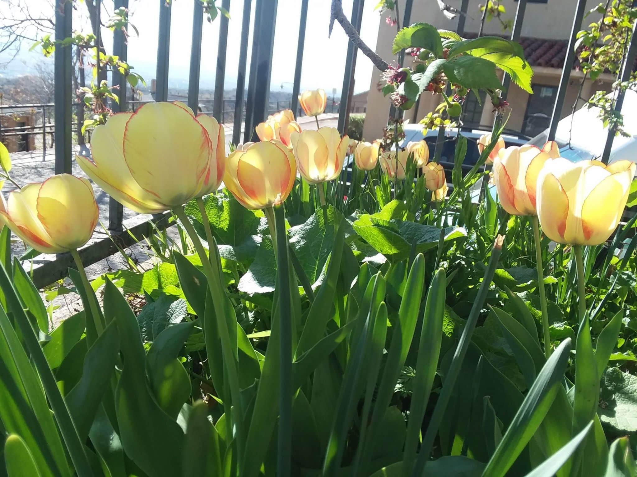 Yellow tulips 2