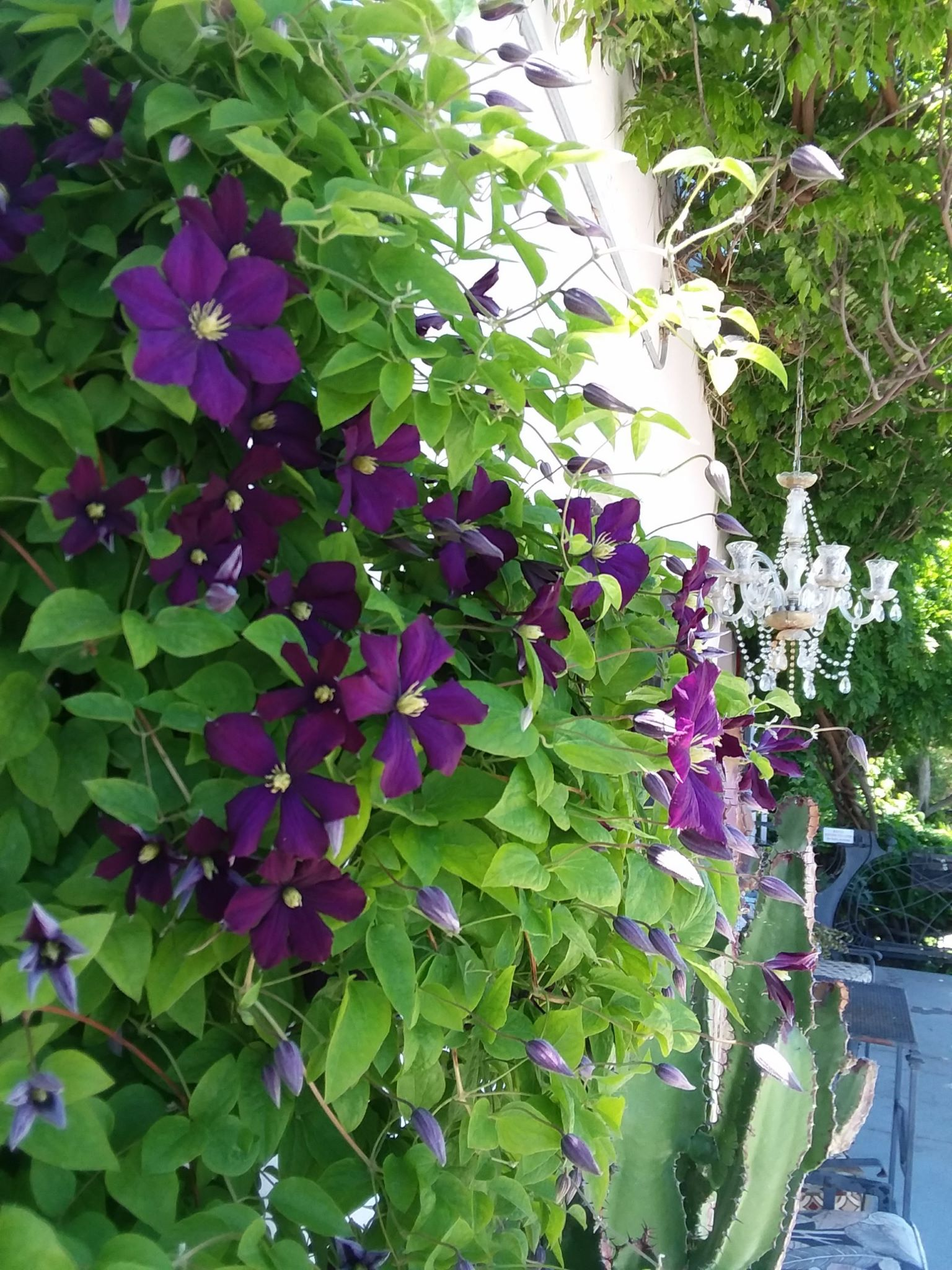 Clematis and chandalier