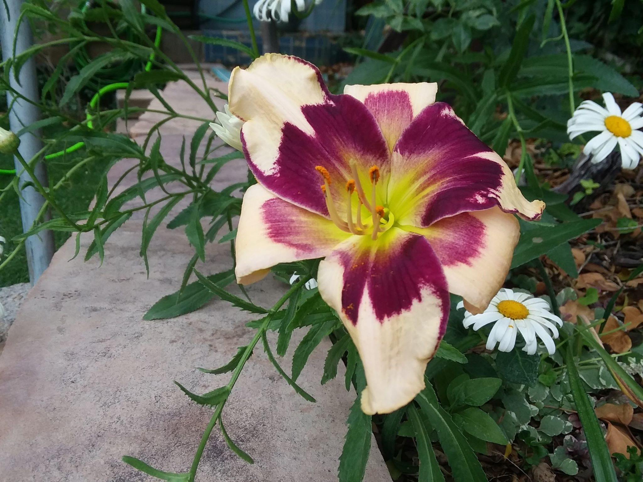 Exotic lily