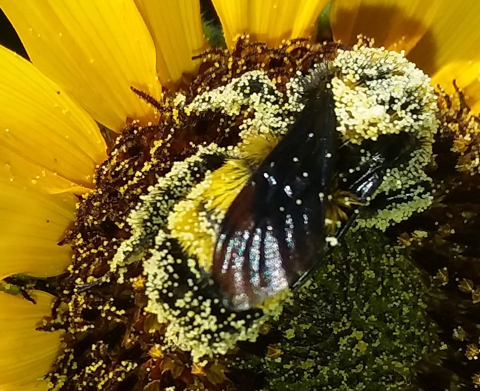 Pollen bathing - cropped